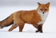 Fox Walk - tichá chůze
